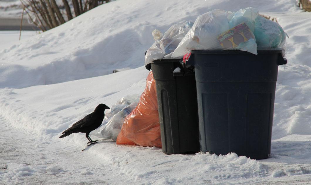 Une corneille devant des ordures.