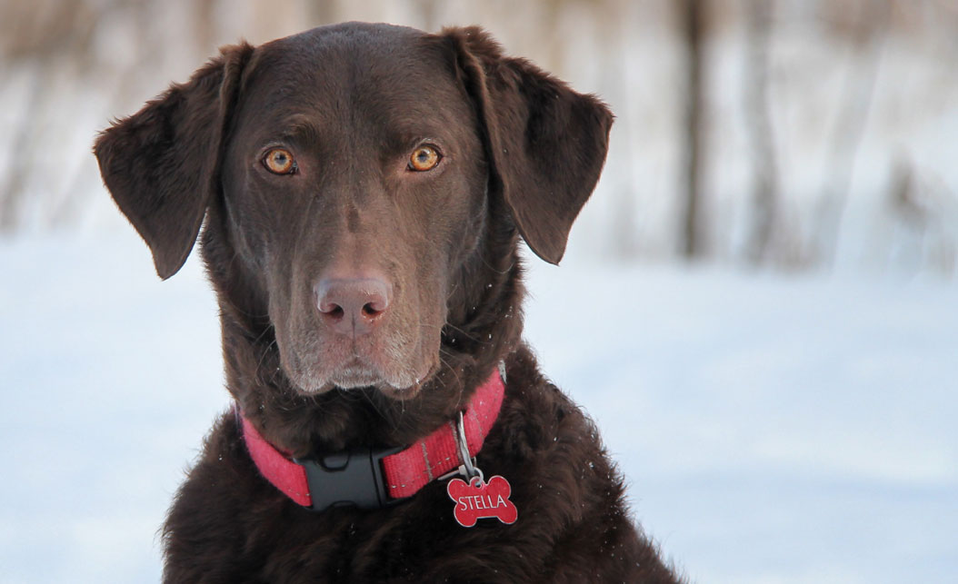 Un chien brun.