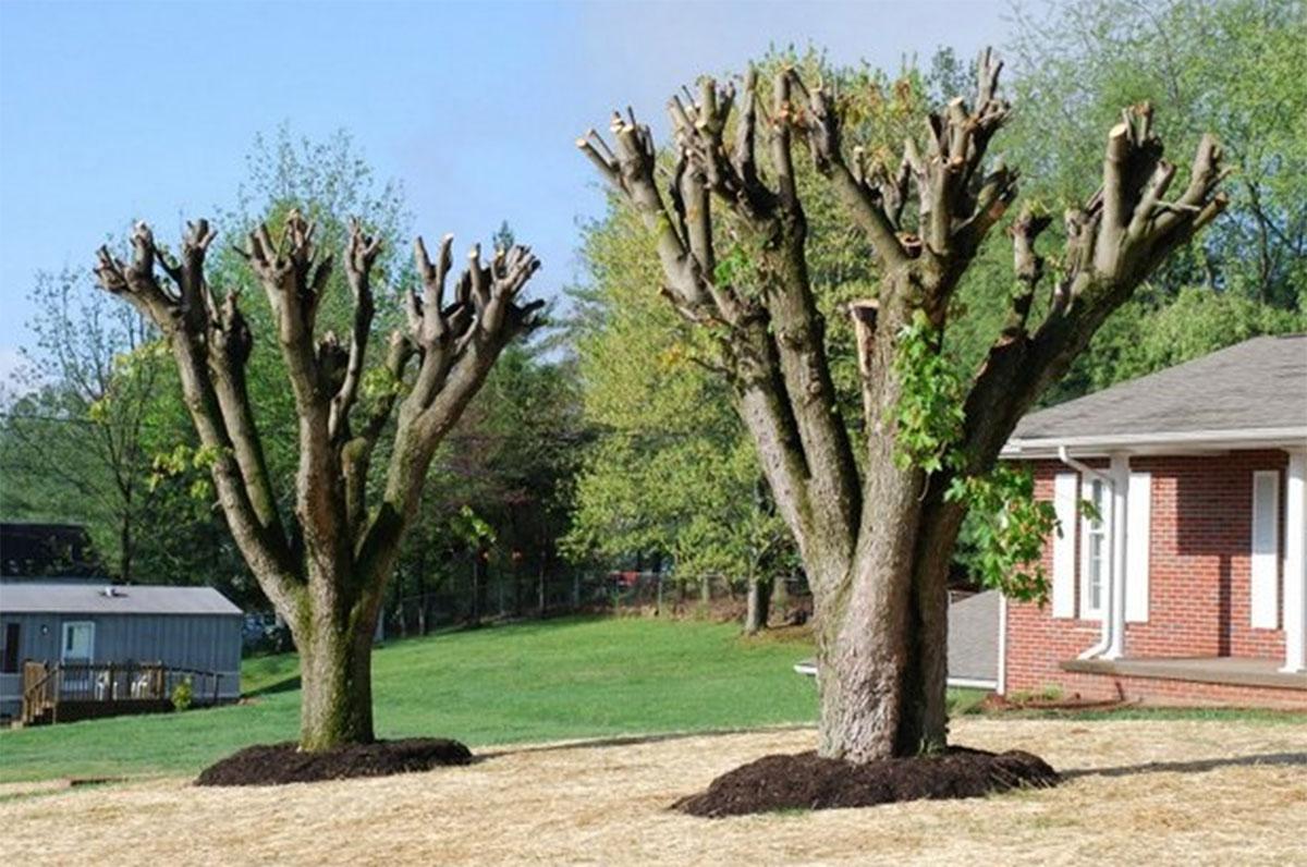 Des arbres étêtés.
