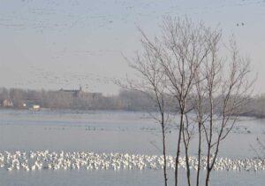 Des oies blanches sur la rivière Richelieu.